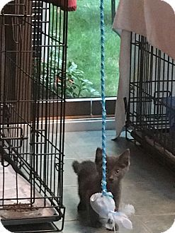 Swansea Ma Domestic Shorthair Meet Slate A Kitten For Adoption