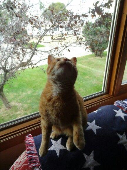 READY FOR LIFT OFF #cat #kitty #kitten #orangetabby #domesticshorthair