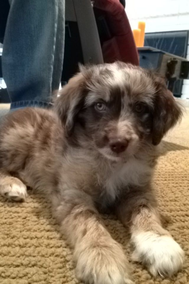 Ziggy The Mini Aussie Doodle What A Beautiful Breed Combo Aussiedoodle Cute Dogs Cute Animals