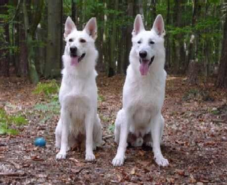 Weisser Schaferhund White German Shepherd White Shepherd Shepherd Dog