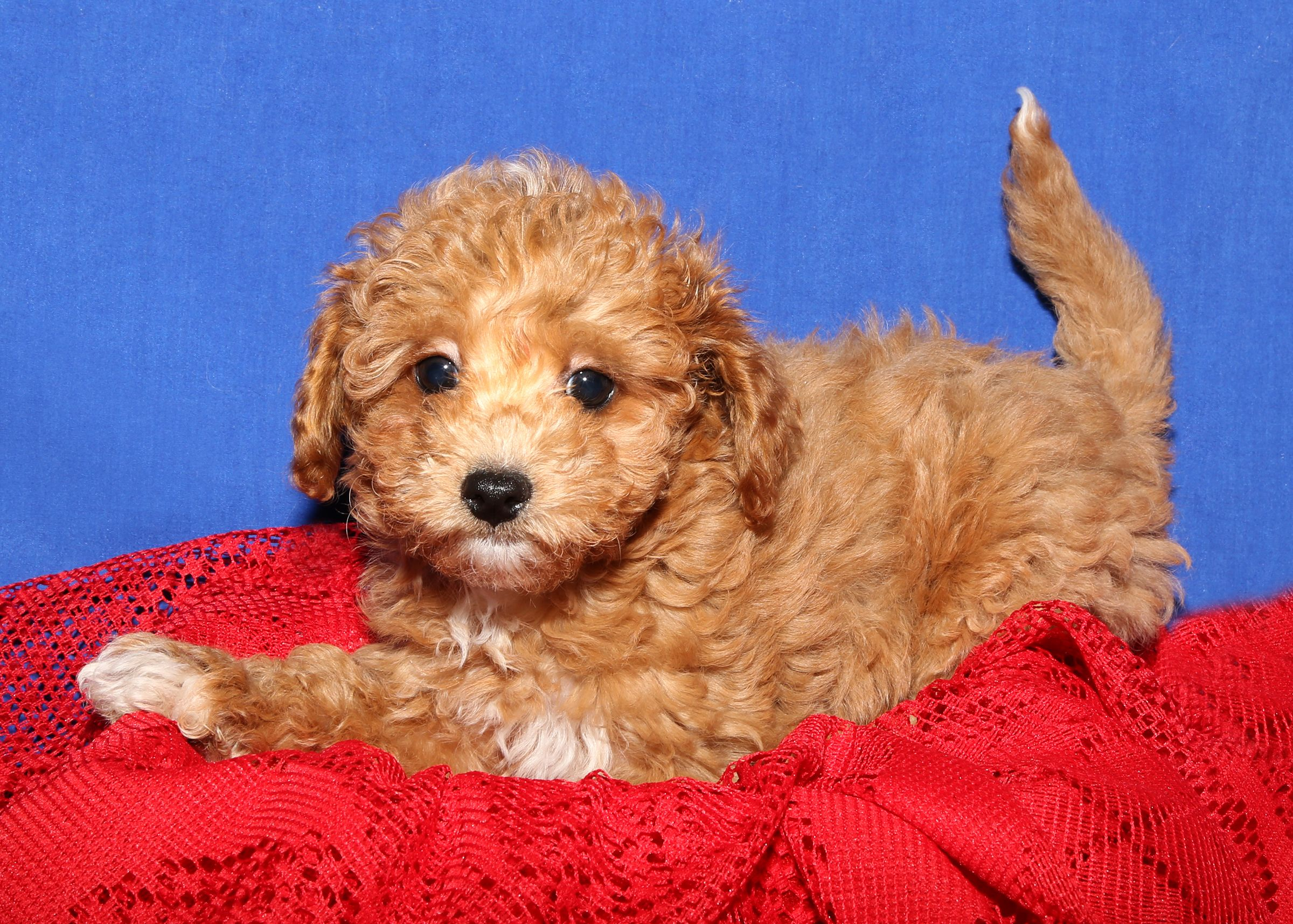 Bijon Poodle For Sale On Long Island At Puppy Love In Franklin