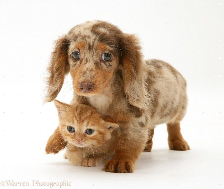 Mini Dachshund With Husky Markings Miniature Longhaired Dachshund Pup With British Shorthair Red 1244 Dapple Dachshund Puppy Dapple Dachshund Ginger Kitten