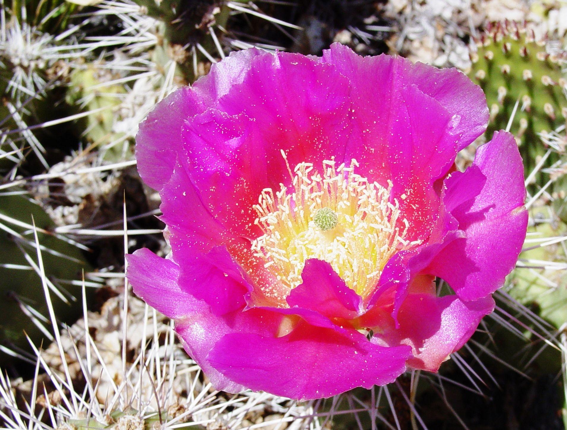 Cactus flower reno nevada cactus flower cactus flowers
