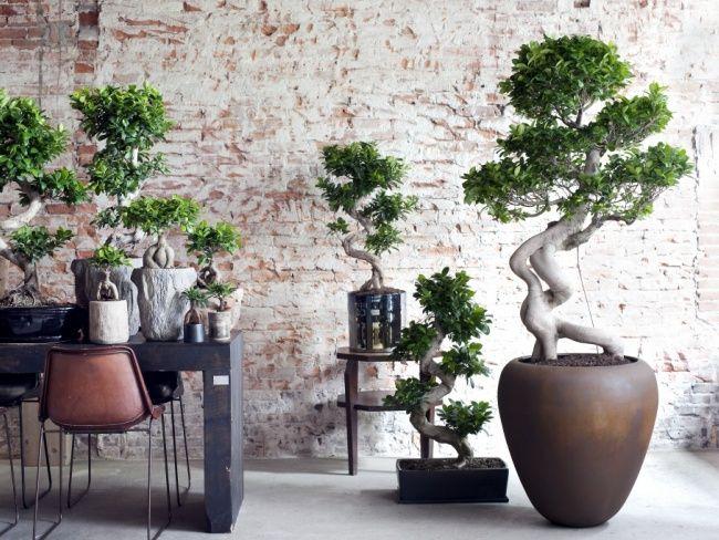 Pflanzen wohnzimmer ~ Ficus ginseng zimmerpflanzen monat und pflanzen
