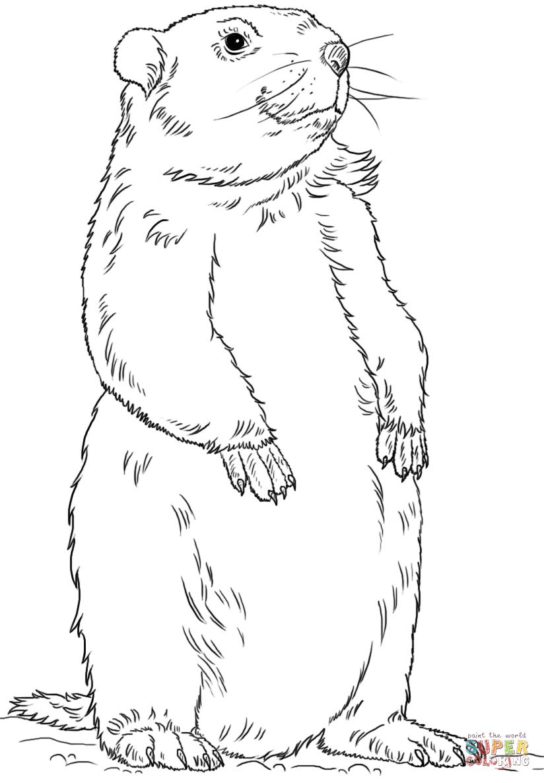 Coloriage marmotte debout coloriages imprimer gratuits beaver coloring page coloring - Coloriage marmotte ...