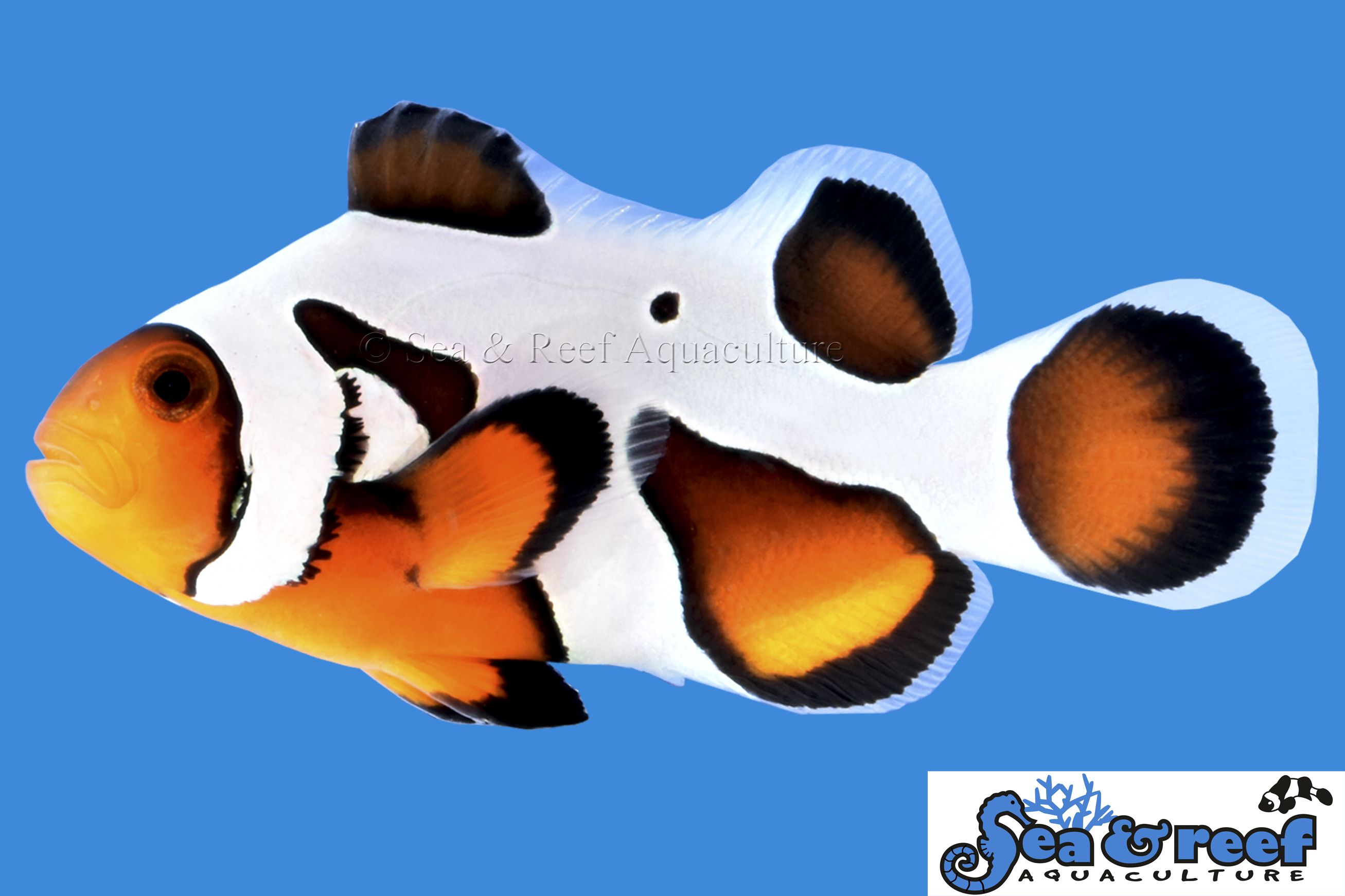 Mochavinci Extreme Clownfish Marine Ornamental Fish Sea And Reef Aquaculture Buy From Saltwater City In Renton Clown Fish Fish Saltwater Aquarium