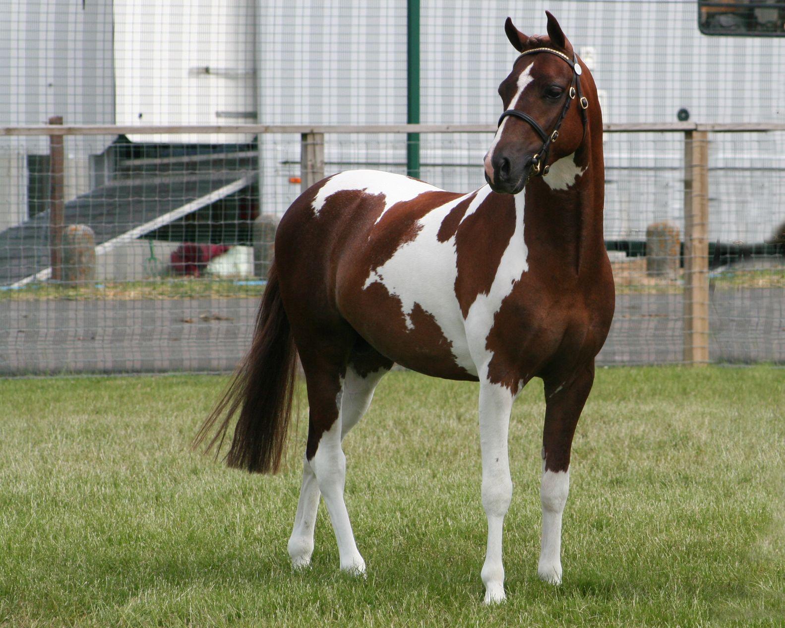 Woodbury's Harlequin  12.2h   2007   Sport Pony Stallion Ferguson Uno – Moleview Mohawk  Hilltop Farm, Inc.