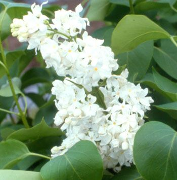 Angel White Lilac Trees For Sale Lilac Tree White Lilac Tree Lilac Gardening