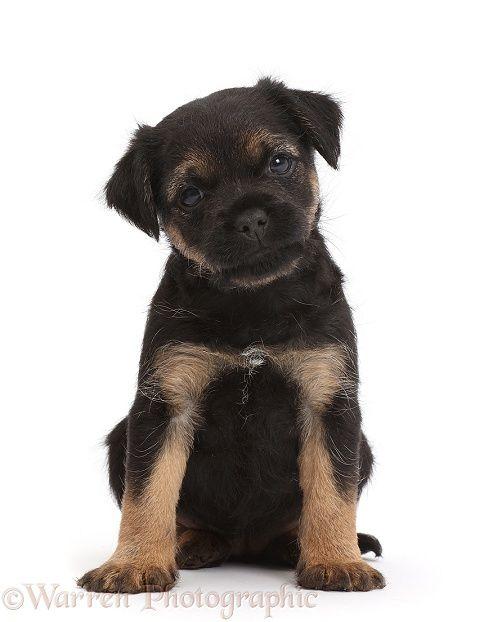 Border Terrier Puppy 5 Weeks Old Border Terrier Puppy Border