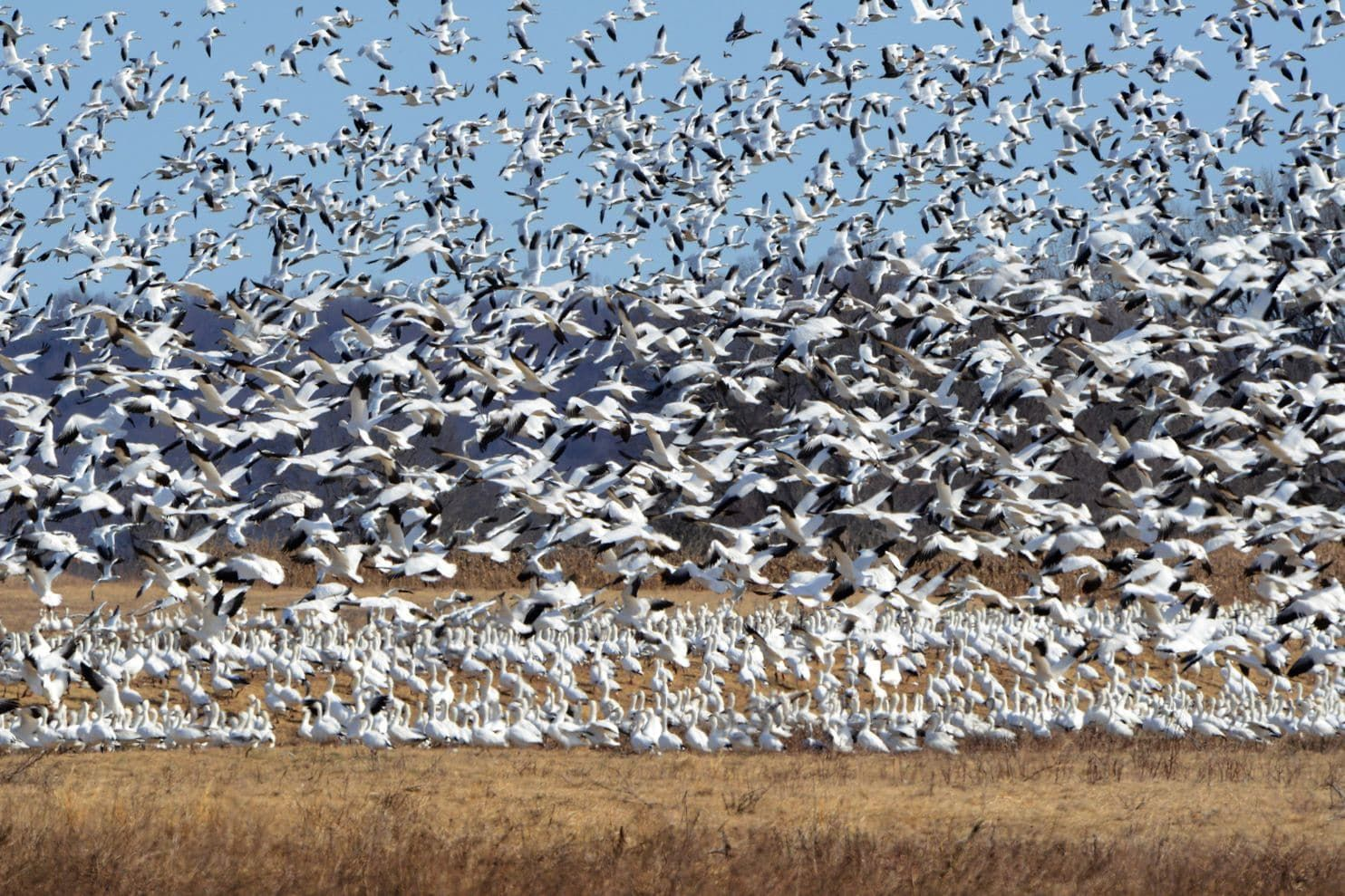 Migrating snow geese are a beautiful sight but a