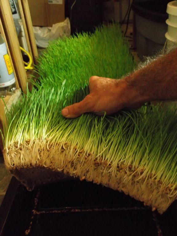 06-07-12 Barley Fodder Trials 010