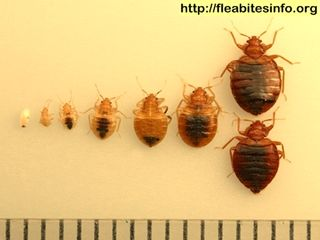 What Do Bed Bug Looks Like Where Do Bed Bugs Come From Bed