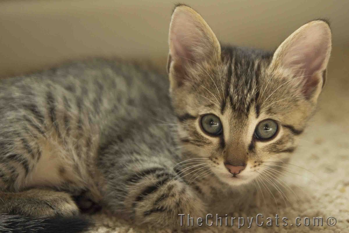Rocket Bronze Male Egyptian Mau The Chirpy Cat
