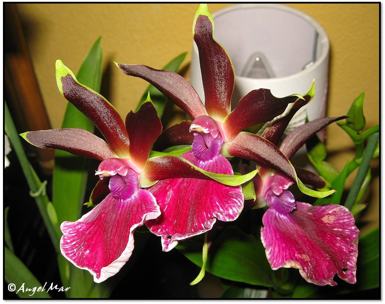 Orquídeas Blog de Angel Mar: Zygopetalum (Una de las orquídeas más fragantes)