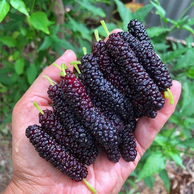 What is Mulberries  in your language   by epicyardfarm   Hope you all are having an amazing day     Tag a friend whod like this     All credits to respective owners   epi...