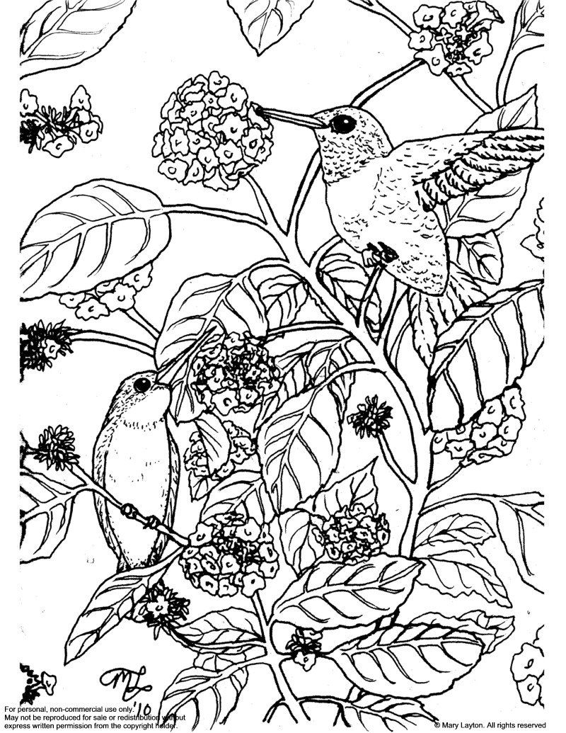 Downloadable coloring page Ruby Throated Hummingbirds on Lantana ...