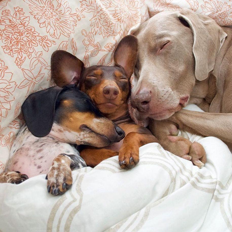 Две собаки приняли в семью третьего щенка и стали лучшими