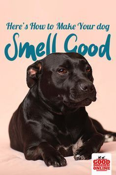 Heres how you can get rid of dog body odor and make your dog smell good