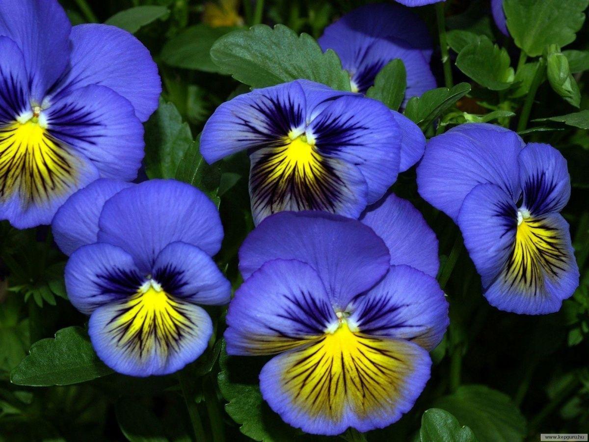 Kartinki Po Zaprosu Anyutiny Glazki Valyanie Pansies Flowers Pansies Flower Photos
