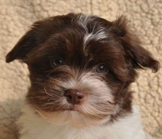 Brown And White Parti Havanese Dog Names Havanese White Dogs