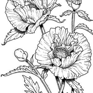 Poppy Coloring Pages  Awesome Drawing Of California Poppy