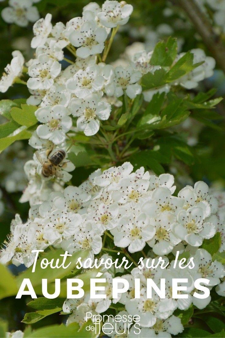 Plante A Planter En Septembre aubépine, crataegus : plantation, taille, entretien | jardin