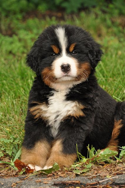 Simple Bernese Mountain Dog Chubby Adorable Dog - 4571de87399553e47840978000ce6d8a  HD_72624  .jpg