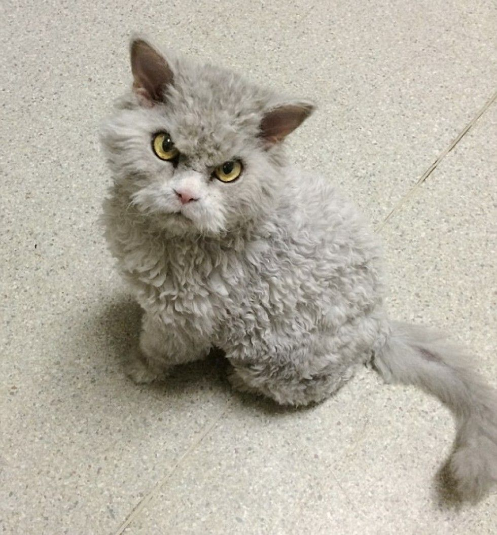 Frowning Kitty Has Ability To Stare And Glare Without Moving Rex Cat Cute Cats Cats