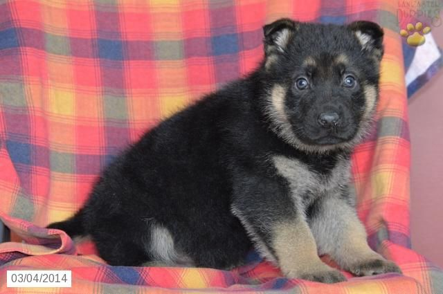 King German Shepherd Puppy For Sale In Fresno Oh German