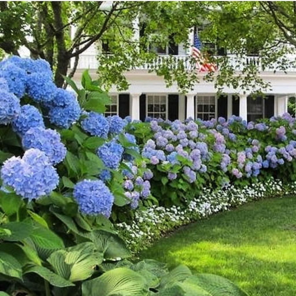 hydrangea landscaping  Hydrangea landscaping, Front landscaping