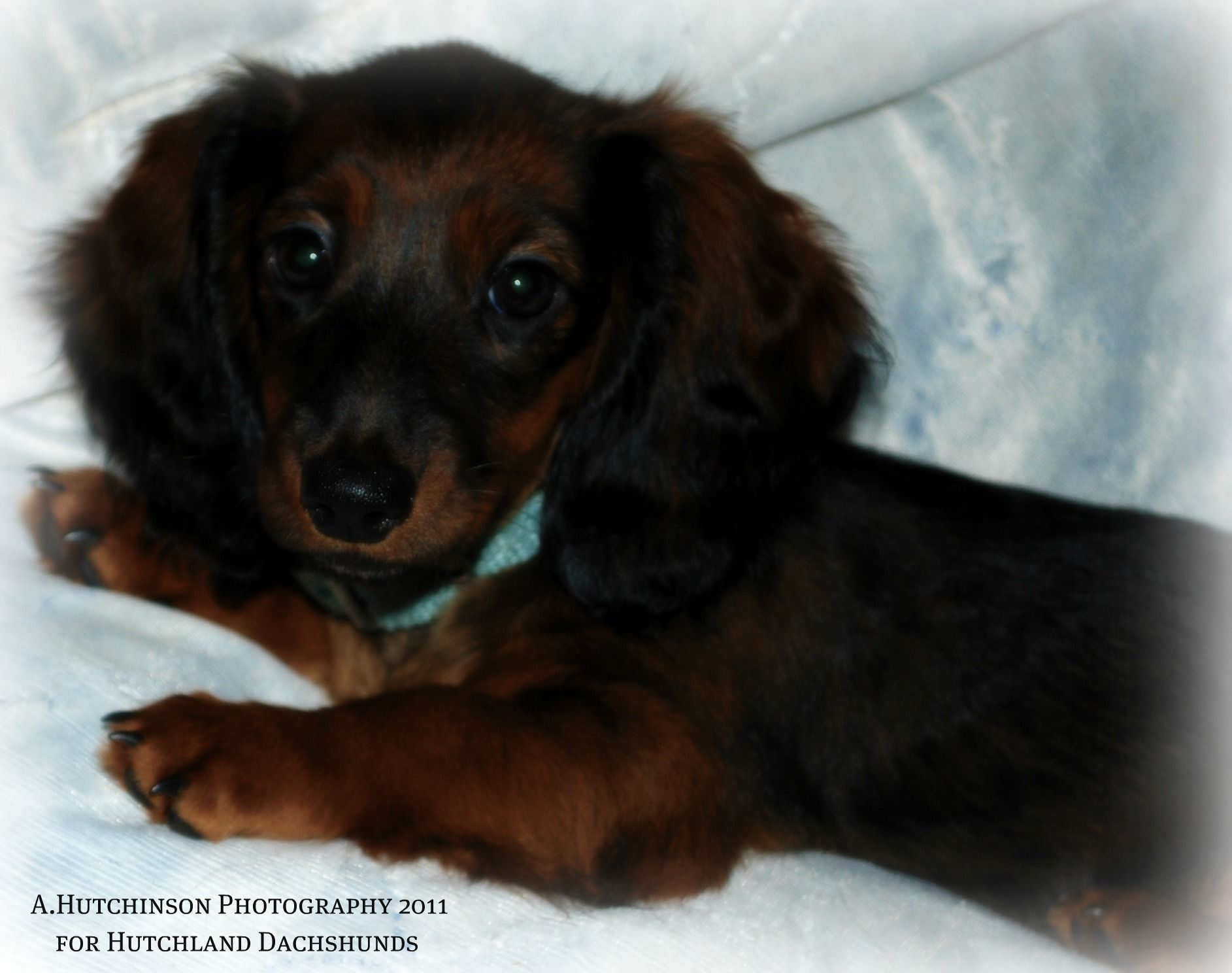 Princess Sweetie Evie Black Red Sable Miniature Longhaired