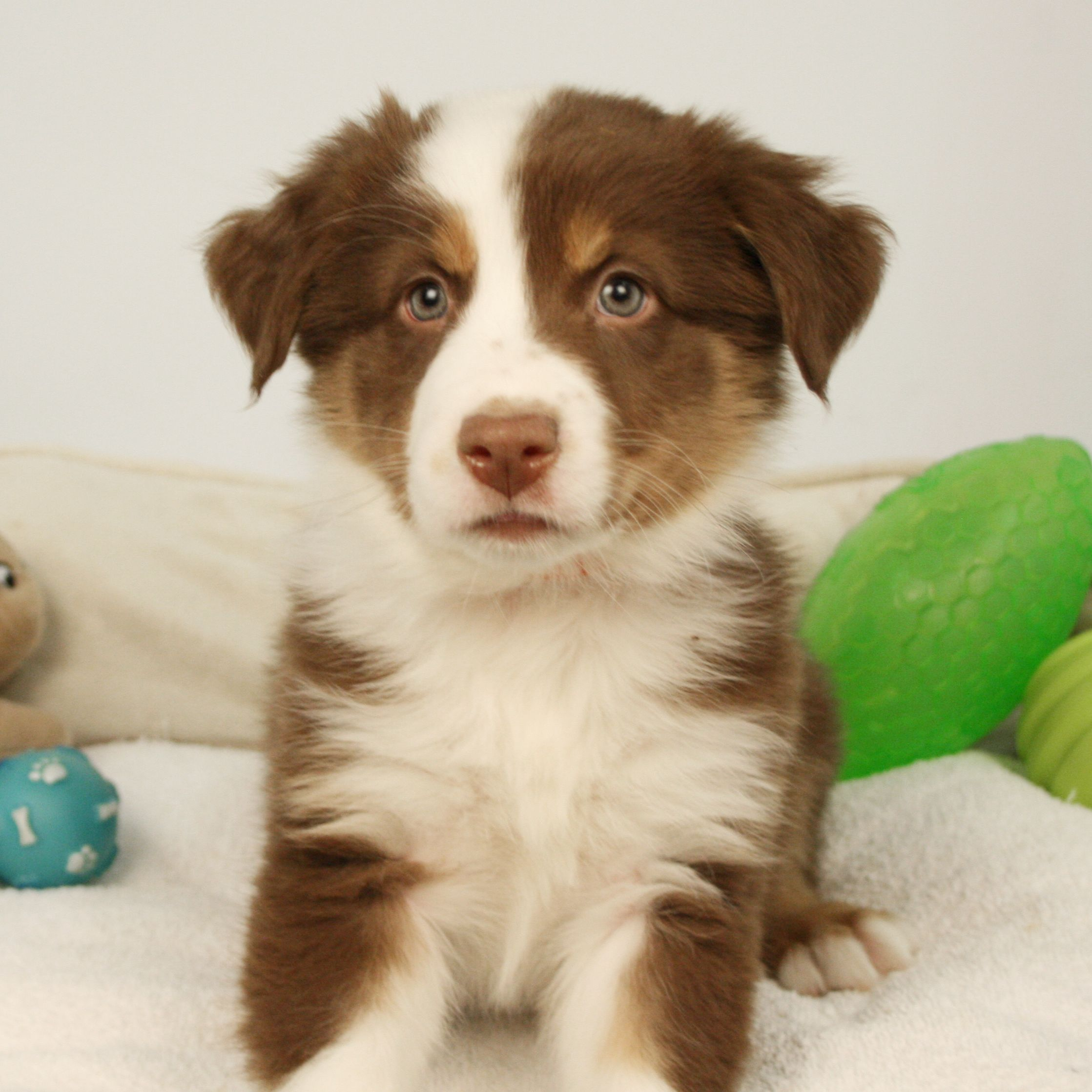 Aussie Puppies Are Both Adorable And Very Smart Aussie Puppies