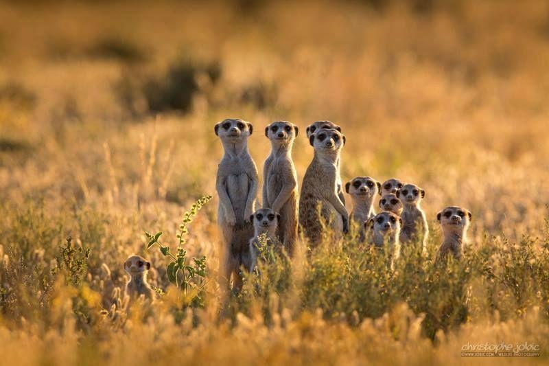 El suricatom Desierto del Kalahari, Africa