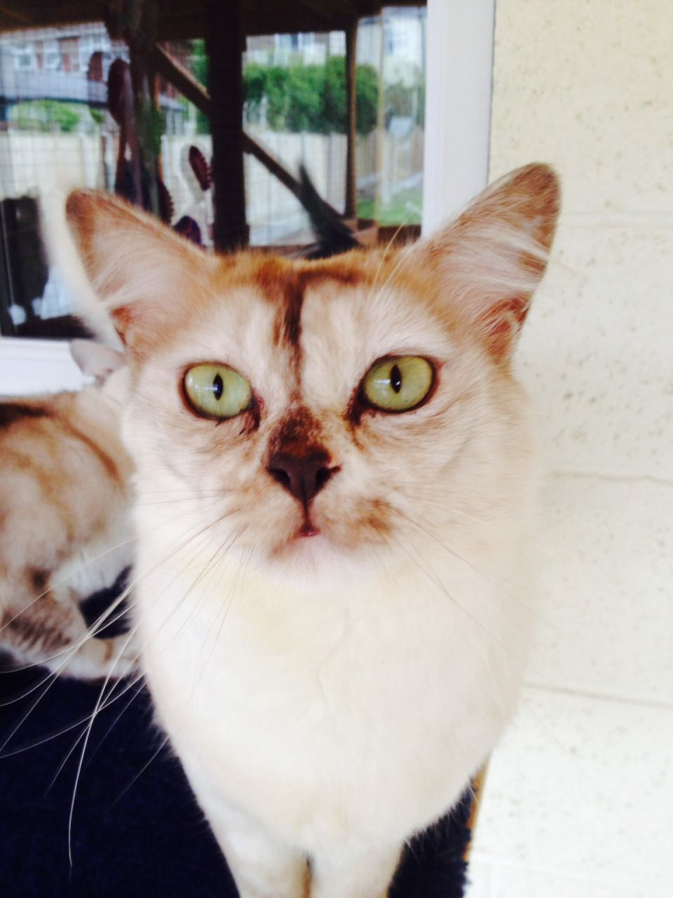 Asian Smoke Cat Champion Tiffanie Girl NEW HOME WITH