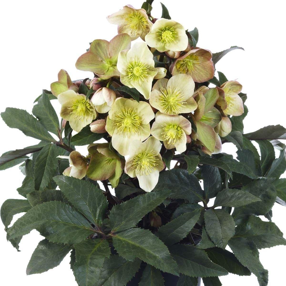 Rispen Hortensie Fraise Melba Jetzt Bestellen Bei Winterharte Pflanzen Garten Pflanzen Freiland Hortensie