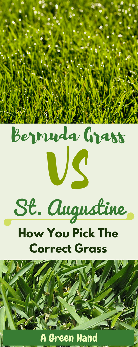 What Is The Difference Between Bermuda Grass And St Augustine Bermuda Grass Grass Care Bermuda Grass Seed