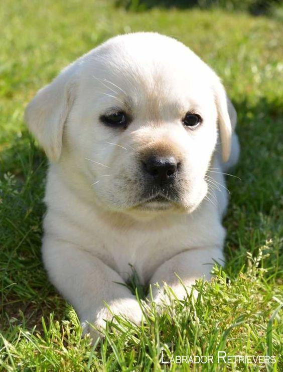 Lab Retrievers Puppy Cuccioli Di Cani Cuccioli Carini Cuccioli