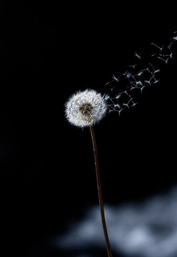 Just A Wind Blow Nature Photography Dandelion Wallpaper Flowers Photography Dandelion flower wallpaper images