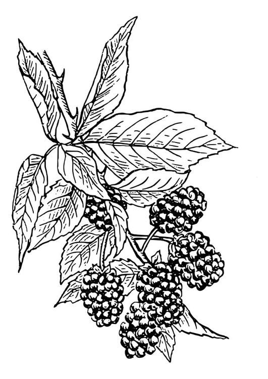 Coloring Page Blackberry Coloring Picture Blackberry Free