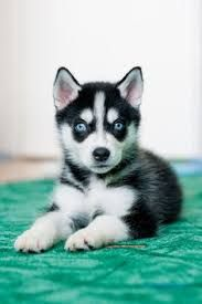 Image Result For Cute Husky Puppies With Blue Eyes Wallpaper Cute Husky Puppies Husky Puppy Cute Baby Animals