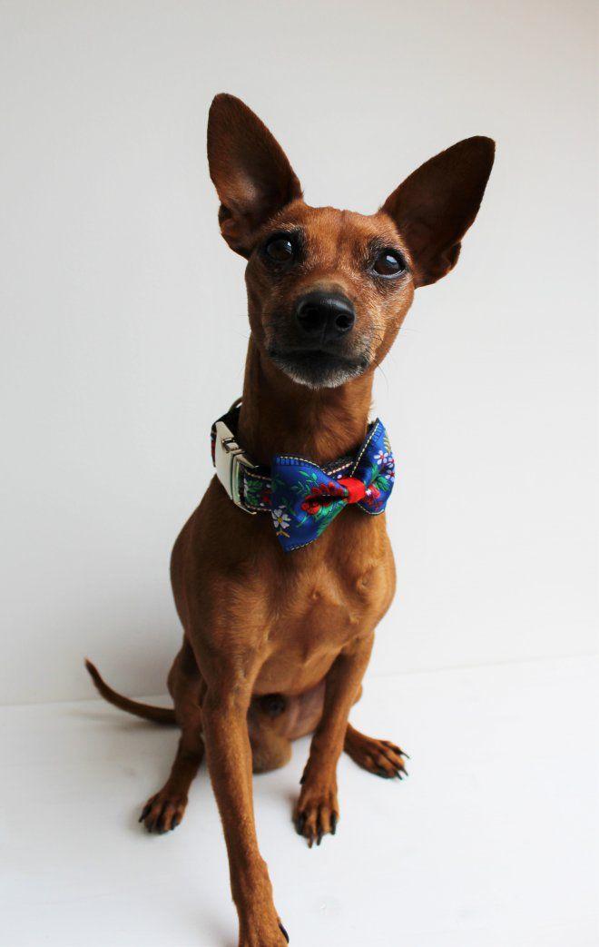 Aký pán, taký pes, alebo motýlik pre psíka / weim / SAShE.sk