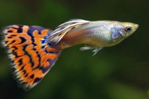 Why Guppies Have Genital Claws Huh You Had Me At Genital Claws 8o In 2020 Guppy Best Aquarium Fish Guppy Fish