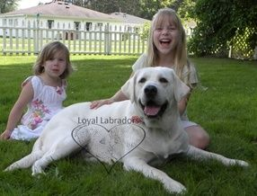 White Labrador Retriever And White English Labrador Retrievers