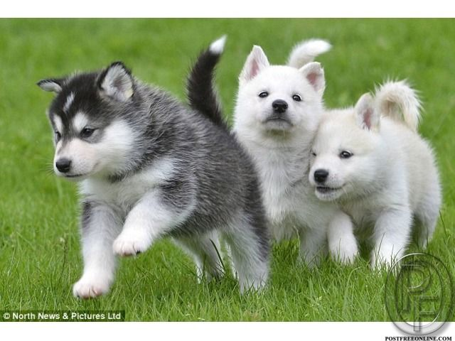 Best Siberian Husky Available With Us For Sale In Mumbai Maharashtra India In Pet Animals And Accessories Category U Animals Beautiful Cute Dogs Cute Animals