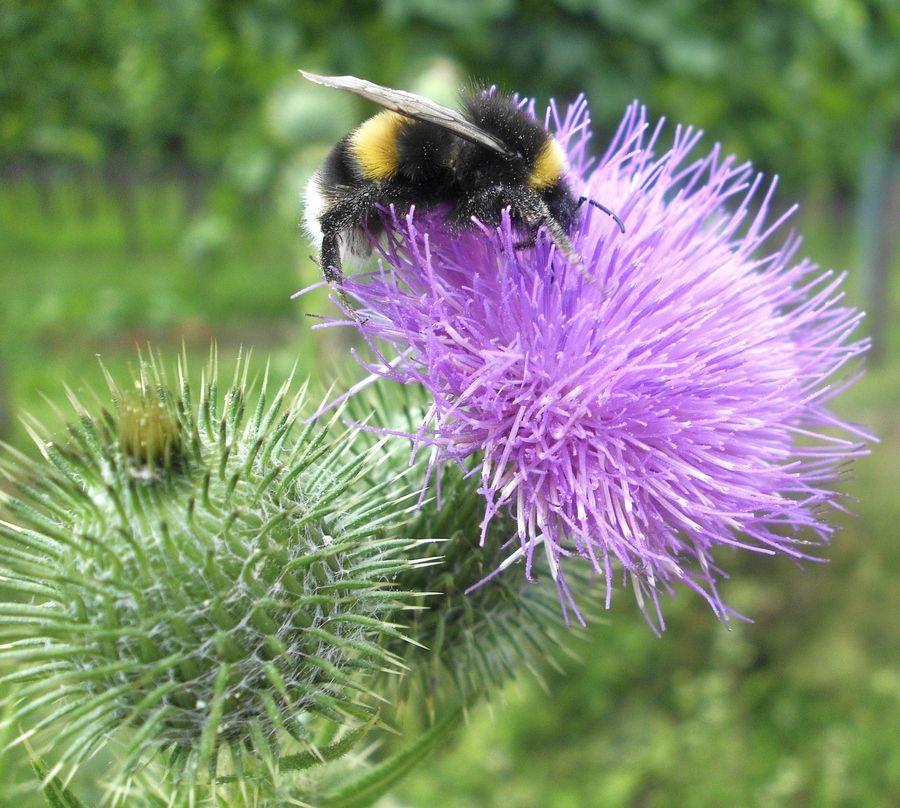 Digitale Fotografie, Makro-Aufnahme, digital bearbeitet, Wiesenblumenblüte mit Hummel