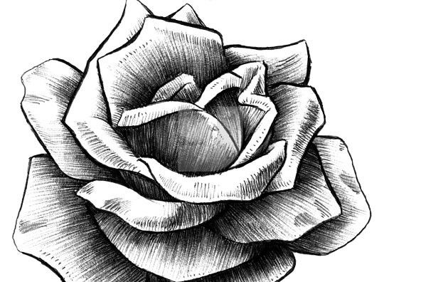 17 Best images about roses on Pinterest | Drawing flowers ...