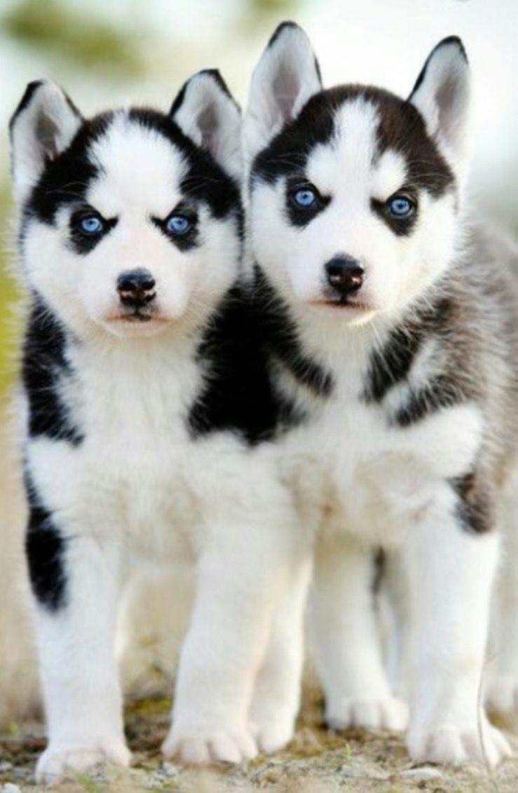 Siberian Husky Pups Siberian Husky Puppies Puppies Animals