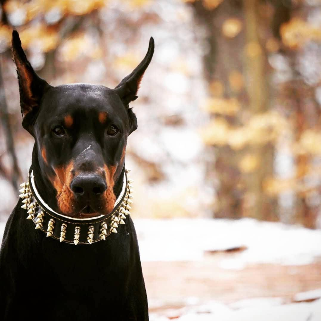Bestia Gold Giant Genuine Leather Dog Collar With Screw Spikes