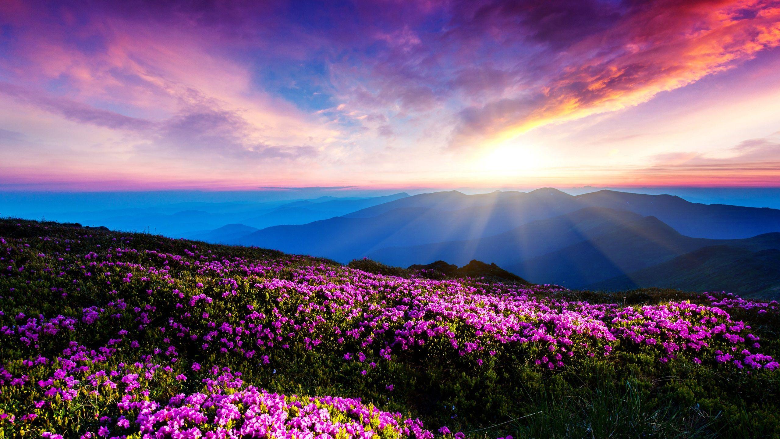 Lila Blumen, Himmel, Wolken, Sonnenuntergang, Strahlen ...