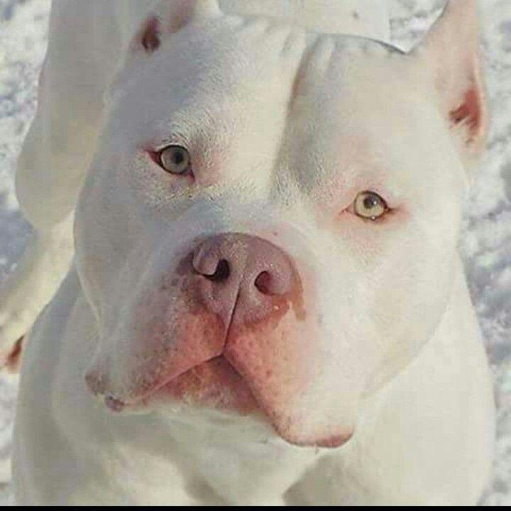 Beauty Bully Pitbull Americanbully Bullies Pets Dogs Dax